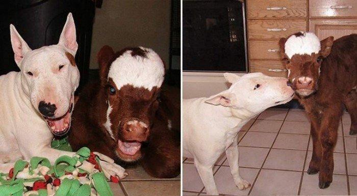 20 забавных коров, которые ведут себя подобно собакам