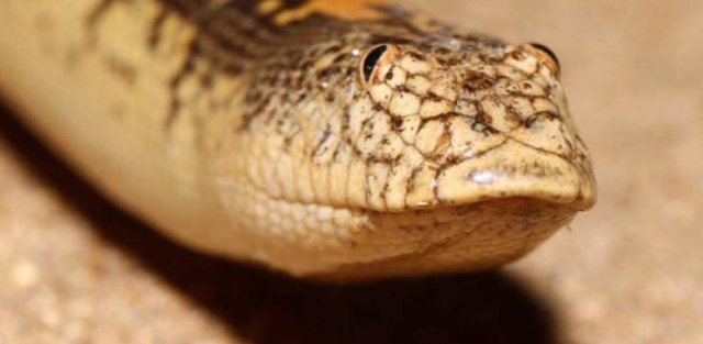 Аравийская песочная боа — самая забавная змея