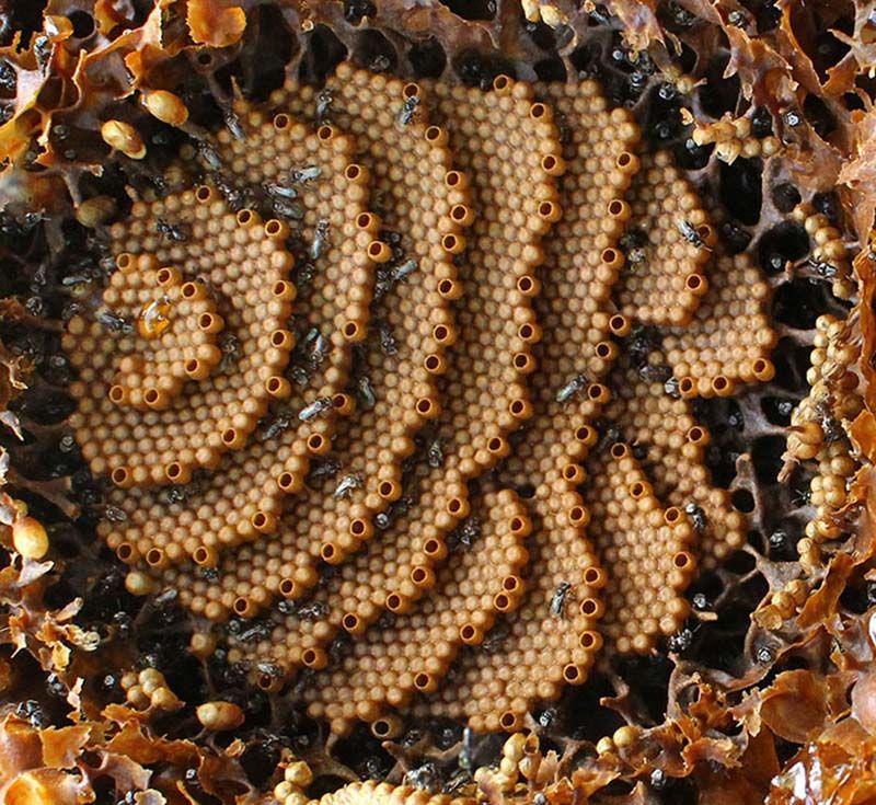 Пчелы без жала из Австралии, строящие уникальные ульи
