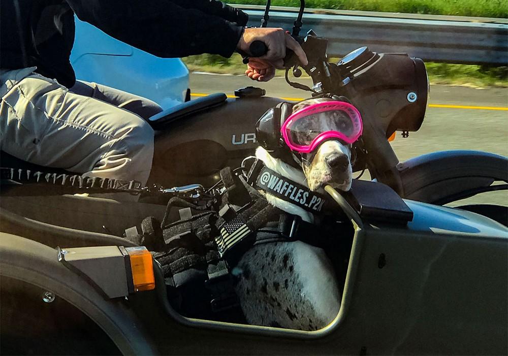 Дог любит кататься с хозяином в коляске мотоцикла по Калифорнии