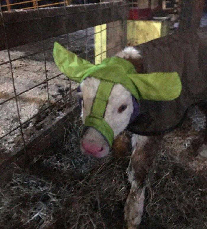 Фермеры утепляют телят наушниками