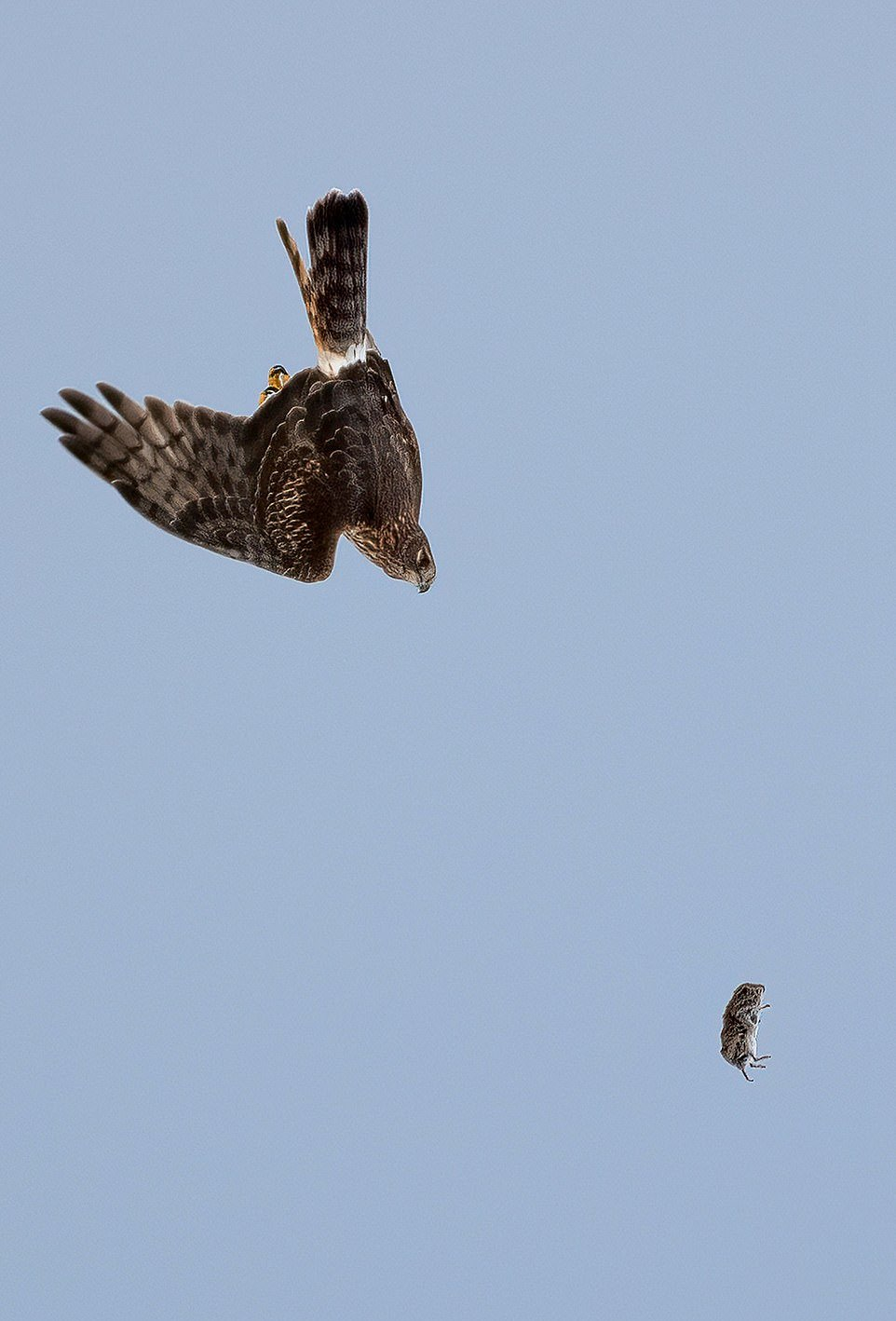 Схватка совы и ястреба за мышку