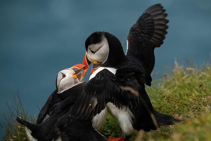 Очаровательные птицы тупики на грани исчезновения