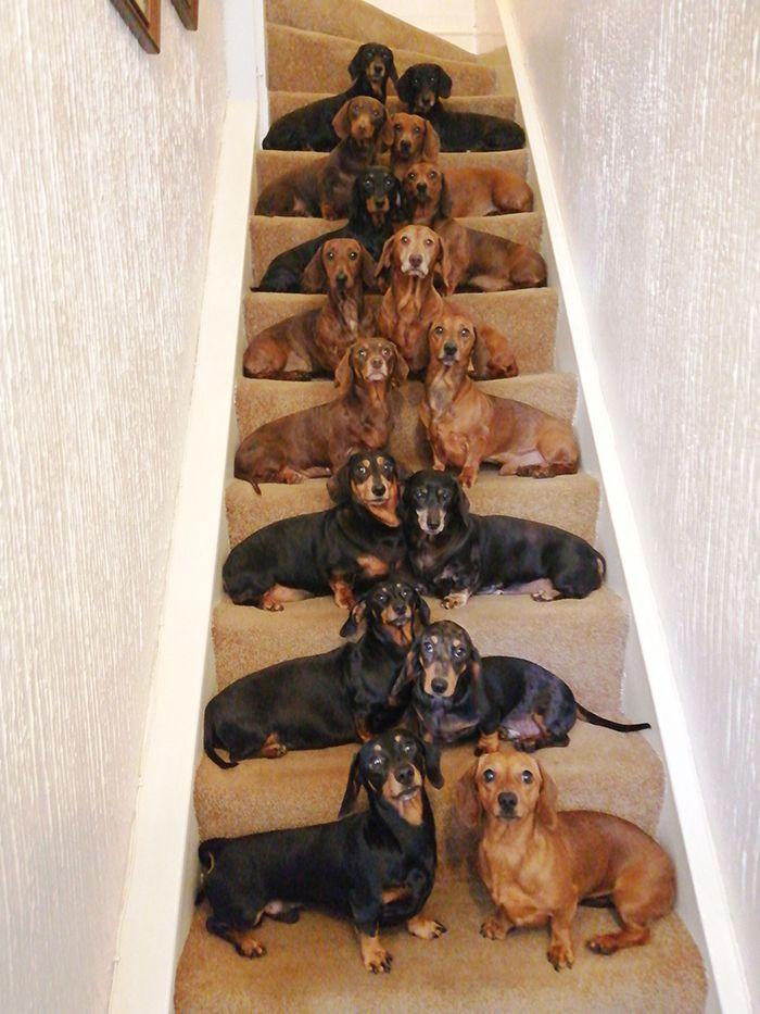 Парень сделал снимок со всеми своими 16 таксами на лестнице