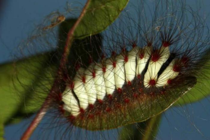 Опасные пушистые гусеницы
