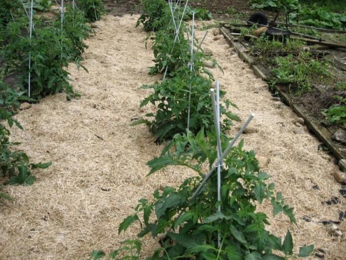 Полезные способы применения томатной ботвы