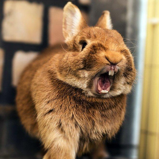 Зевающие кролики выглядят устрашающе