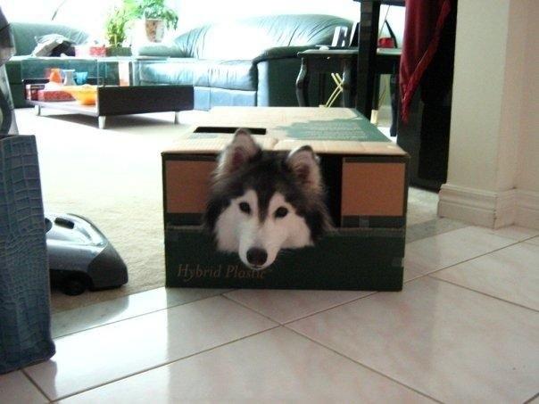 Хаски ведет себя как кошка