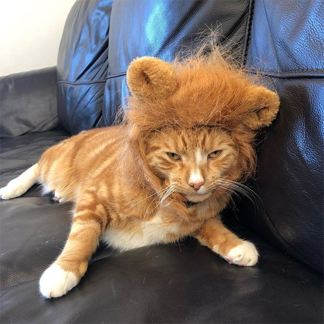 Милые котики с гривой грозного льва