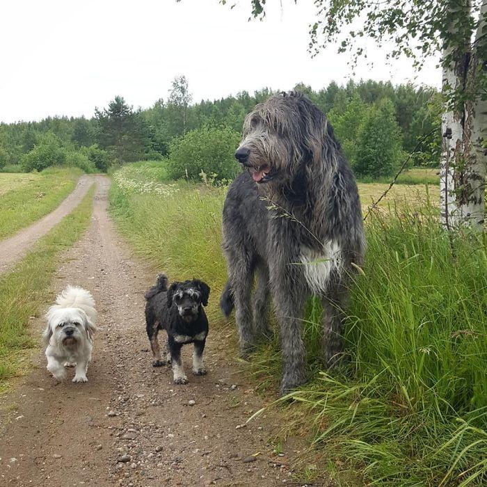 Хозяева со своими безумно большими ирландскими волкодавами