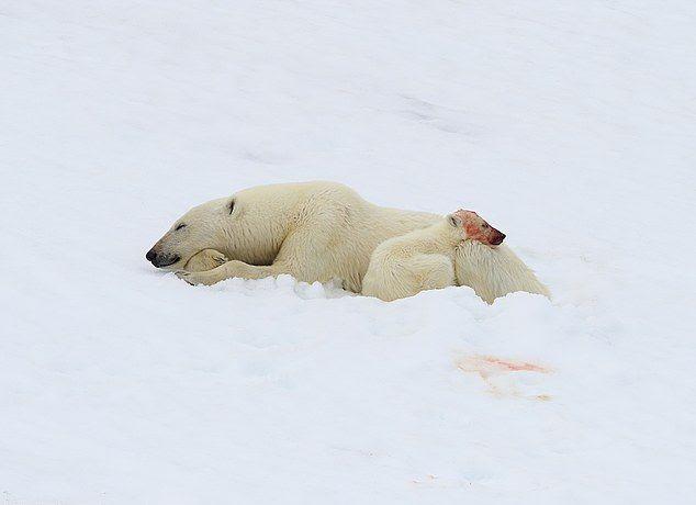 Белая медведица с детенышем после обеда