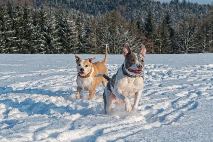 Заблуждения и стереотипы о некоторых породах собак
