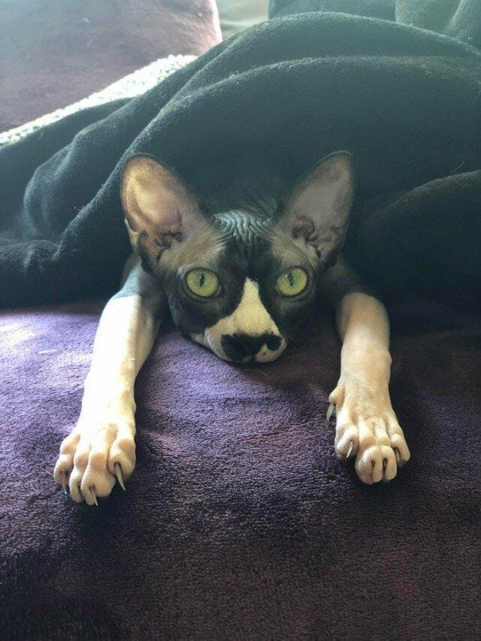 Сфинксы — самая особенная порода кошек