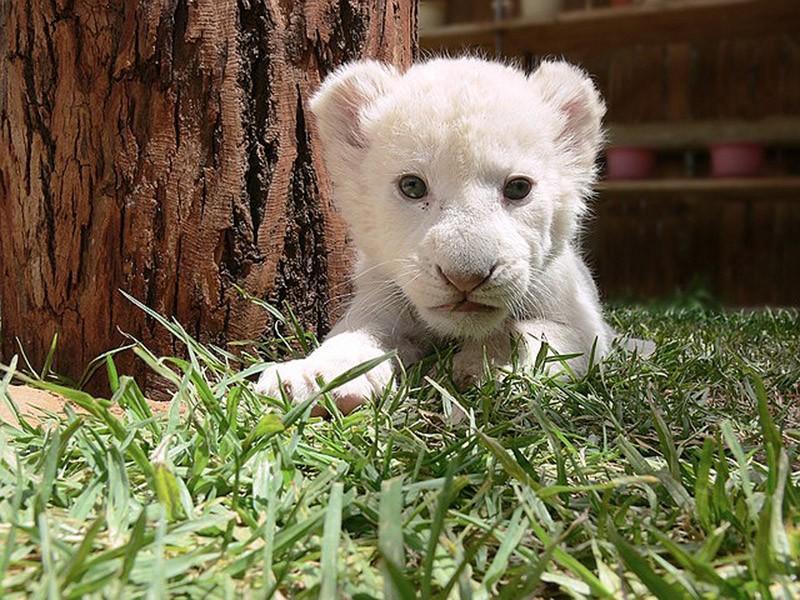 Котята хищных кошек такие милые