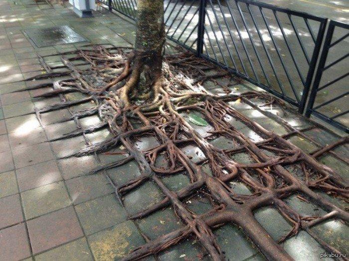 Нереальные корневые системы некоторых деревьев
