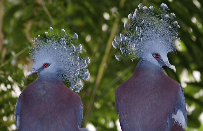 Яркий родственник наших голубей