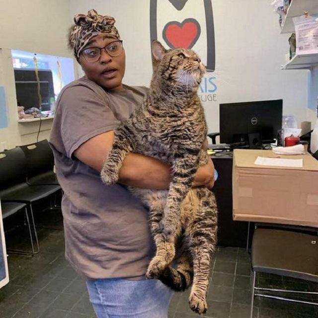 Беспородный кот-великан Мистер БиДжей из Филадельфии