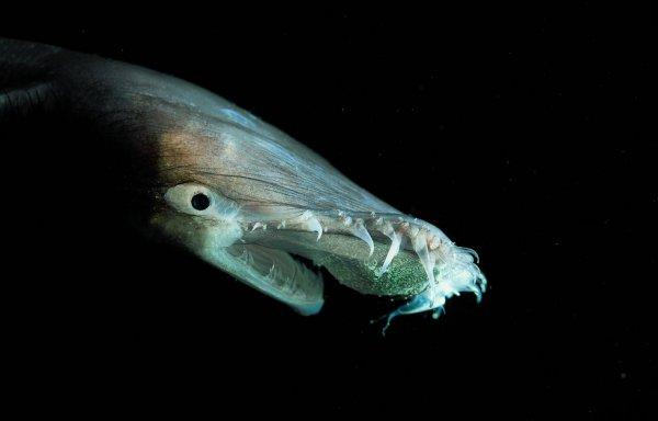 Тауматихты - странные существа морских глубин