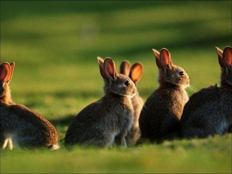 Почему в Австралии такое множество кроликов