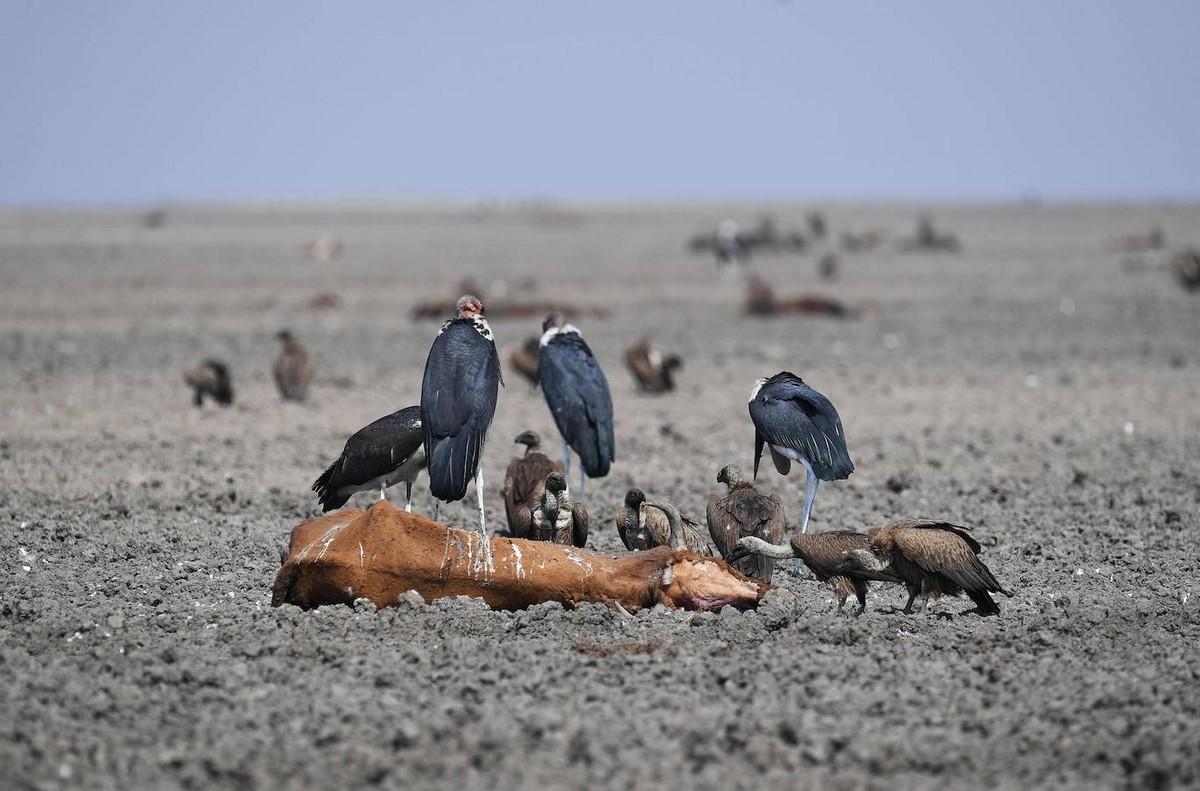 Озеро в Ботсване превратилось в грязное болото и убивает животных