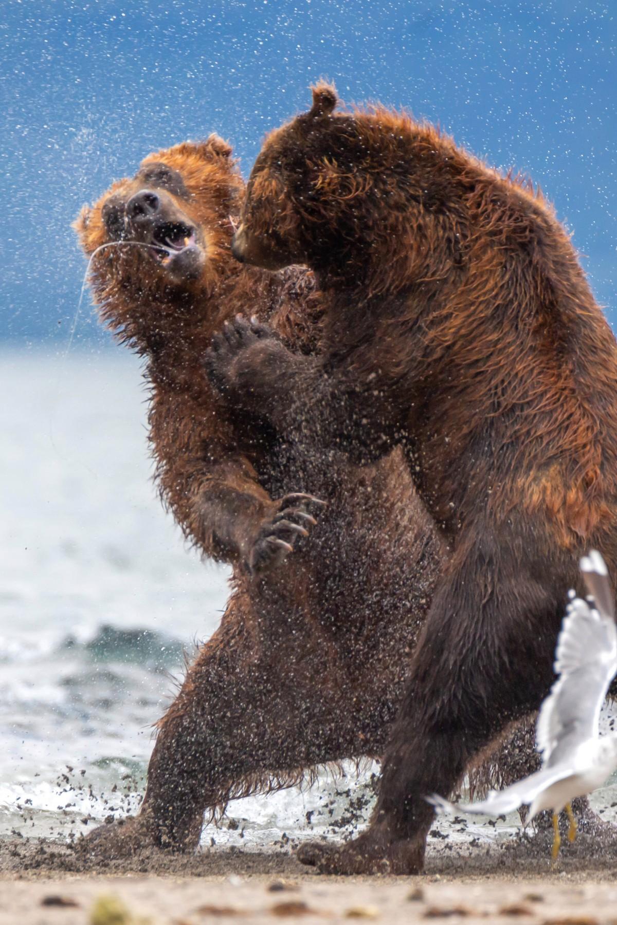 Агрессивный самец решил напасть на медвежат, но на защиту встала их мать