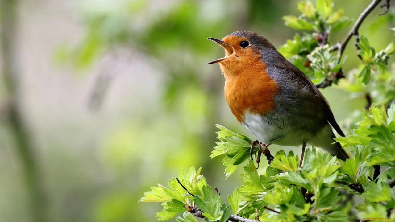 Почему птицы поют