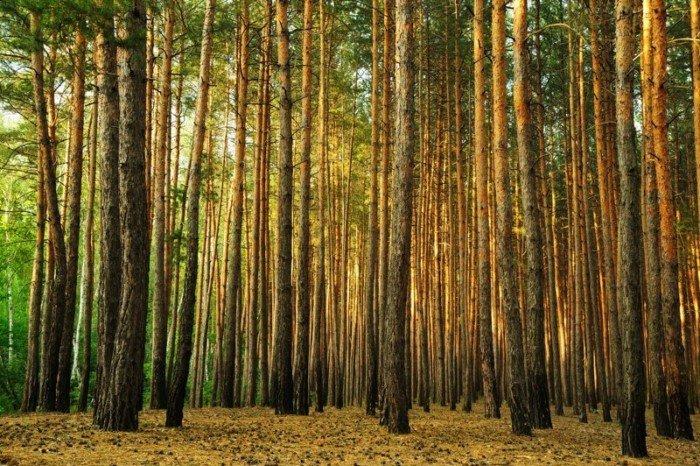 Почему в сосновом лесу почти не растет трава?