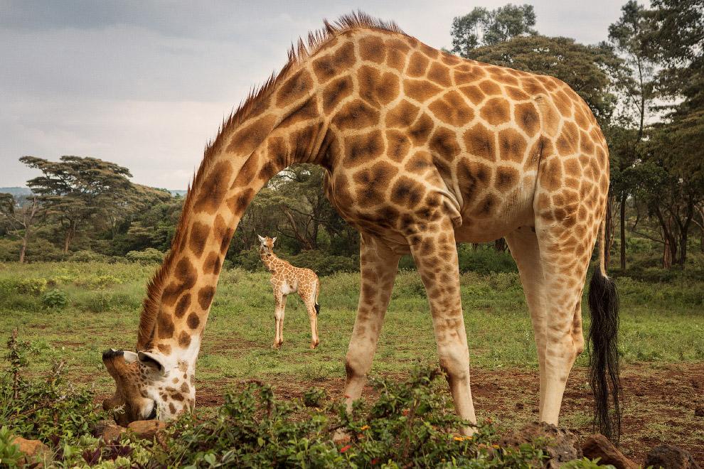 Поесть с жирафами