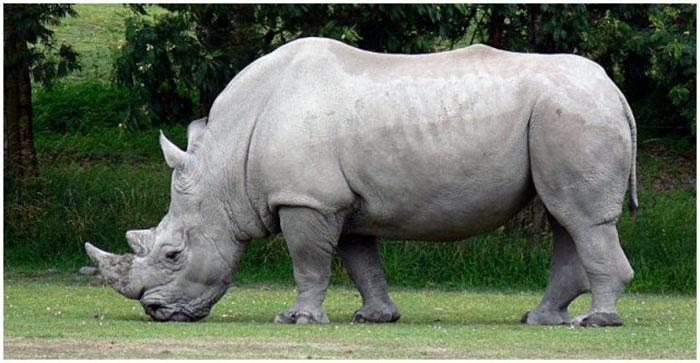 Спасение учёными почти исчезнувших белых носорогов