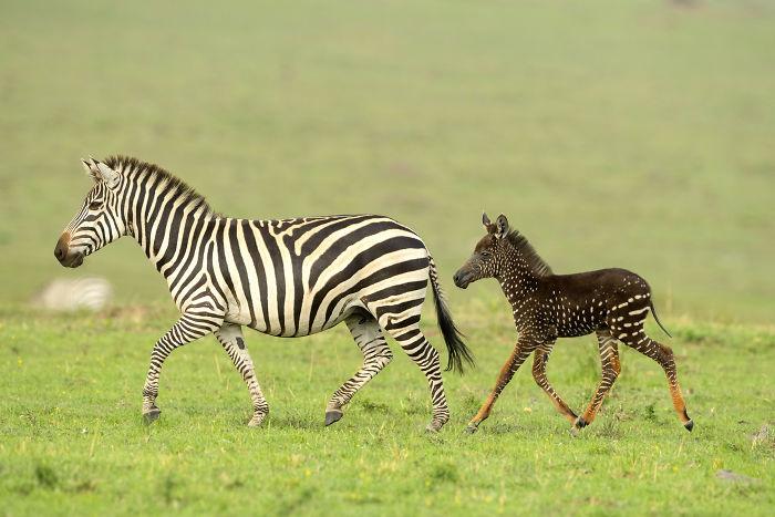 В заповеднике Кении родилась зебра с крапинками вместо полосок