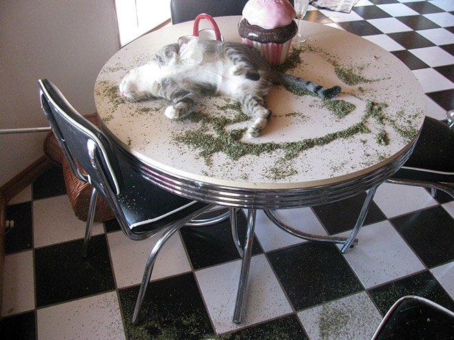 Коты - любители кошачьей мяты