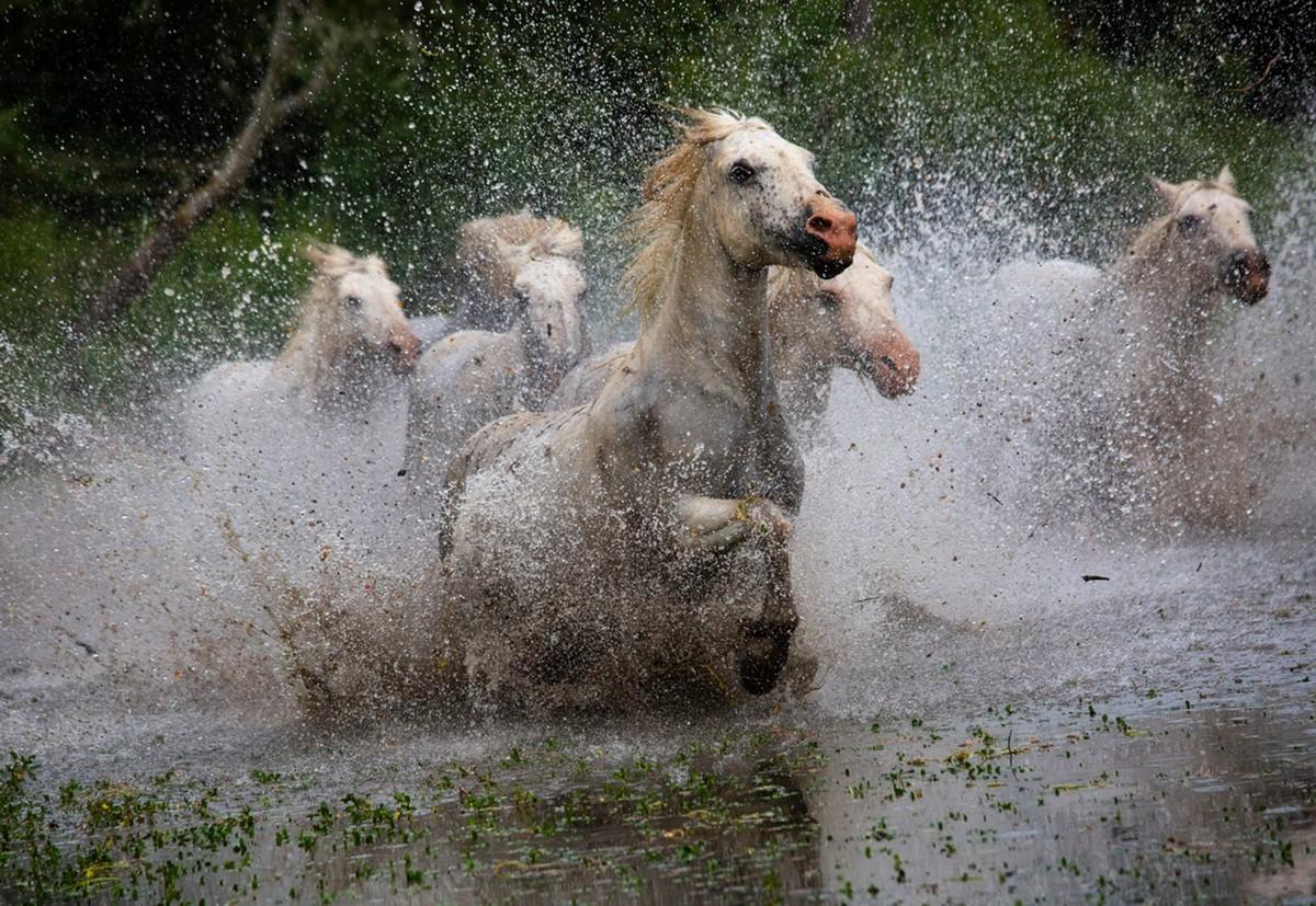 Лошади Камаргу в момент переправы через реку Рона