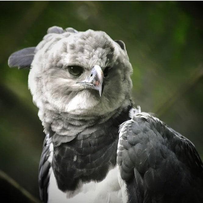 Снимки величественной южноамериканской гарпии