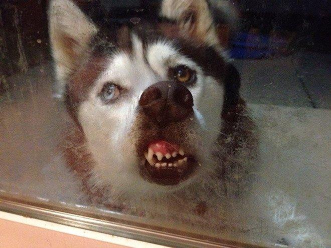 Забавные животные лижут стекло