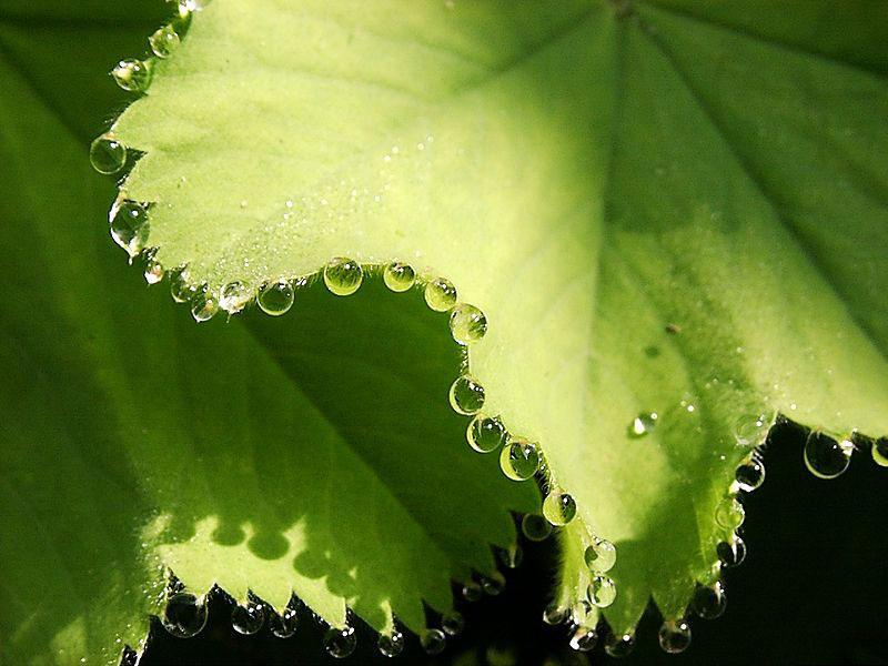 Красивые капли на растениях - результат гуттации