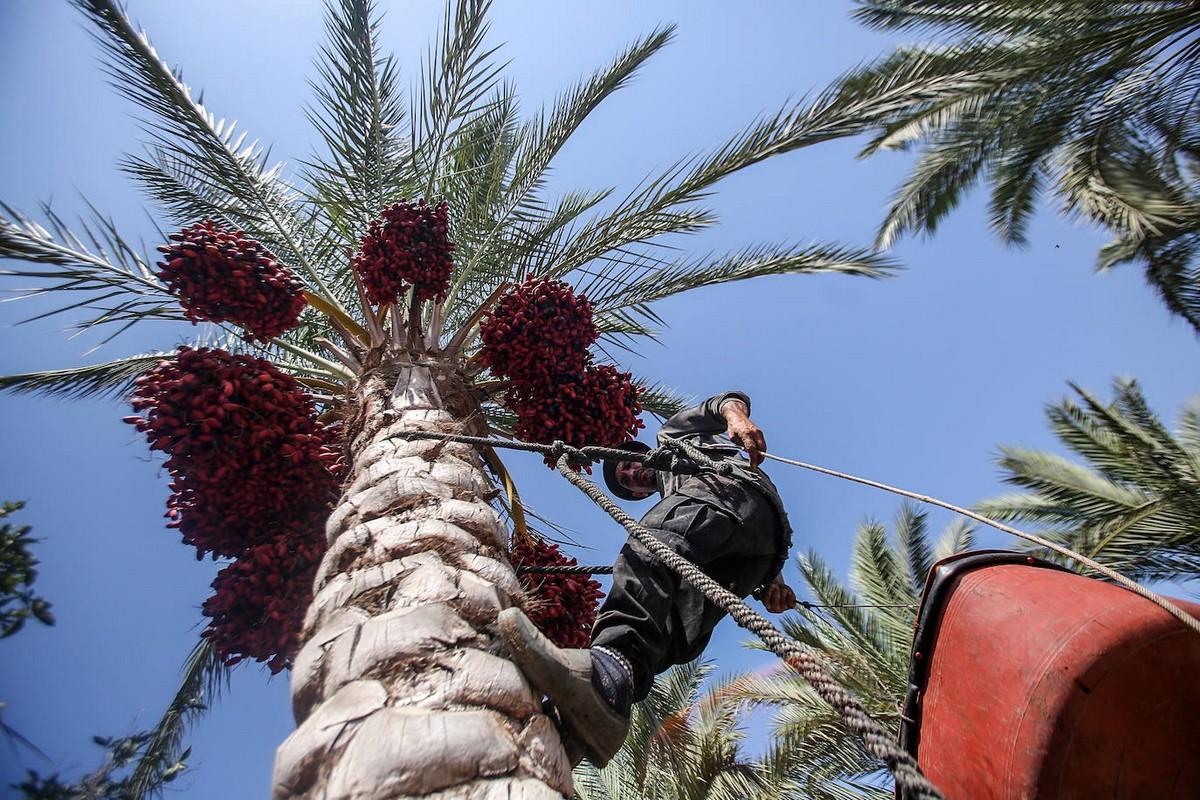 Сбор красного финика в Секторе Газа