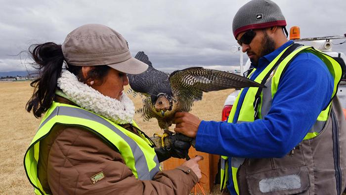 Птицы и авиация: зачем аэропортам соколы