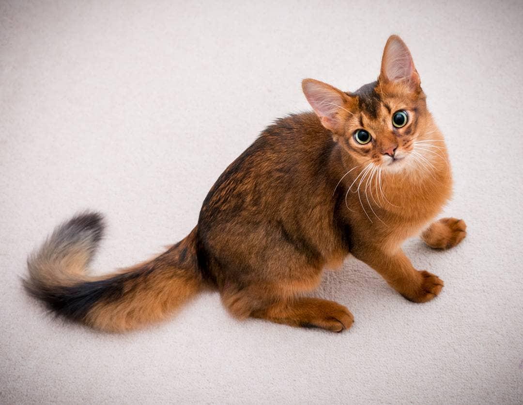 Породы домашних кошек, о которых не все знают