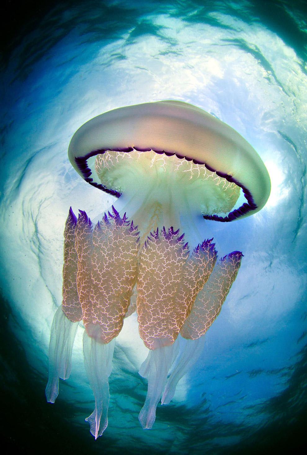 Медузы во всей красе от испанского фотографа