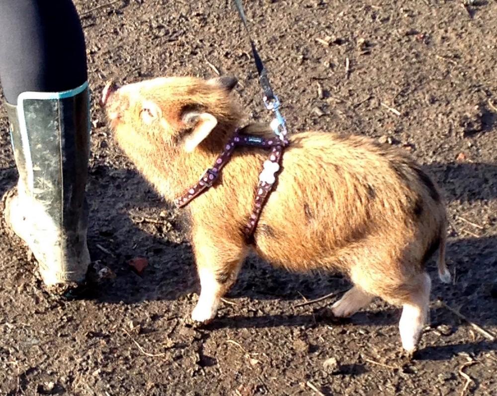 Мини-пиг вырос в огромную свинью и стал другом семьи