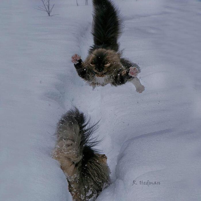 Фотограф из Финляндии показала своих шикарных северных котов