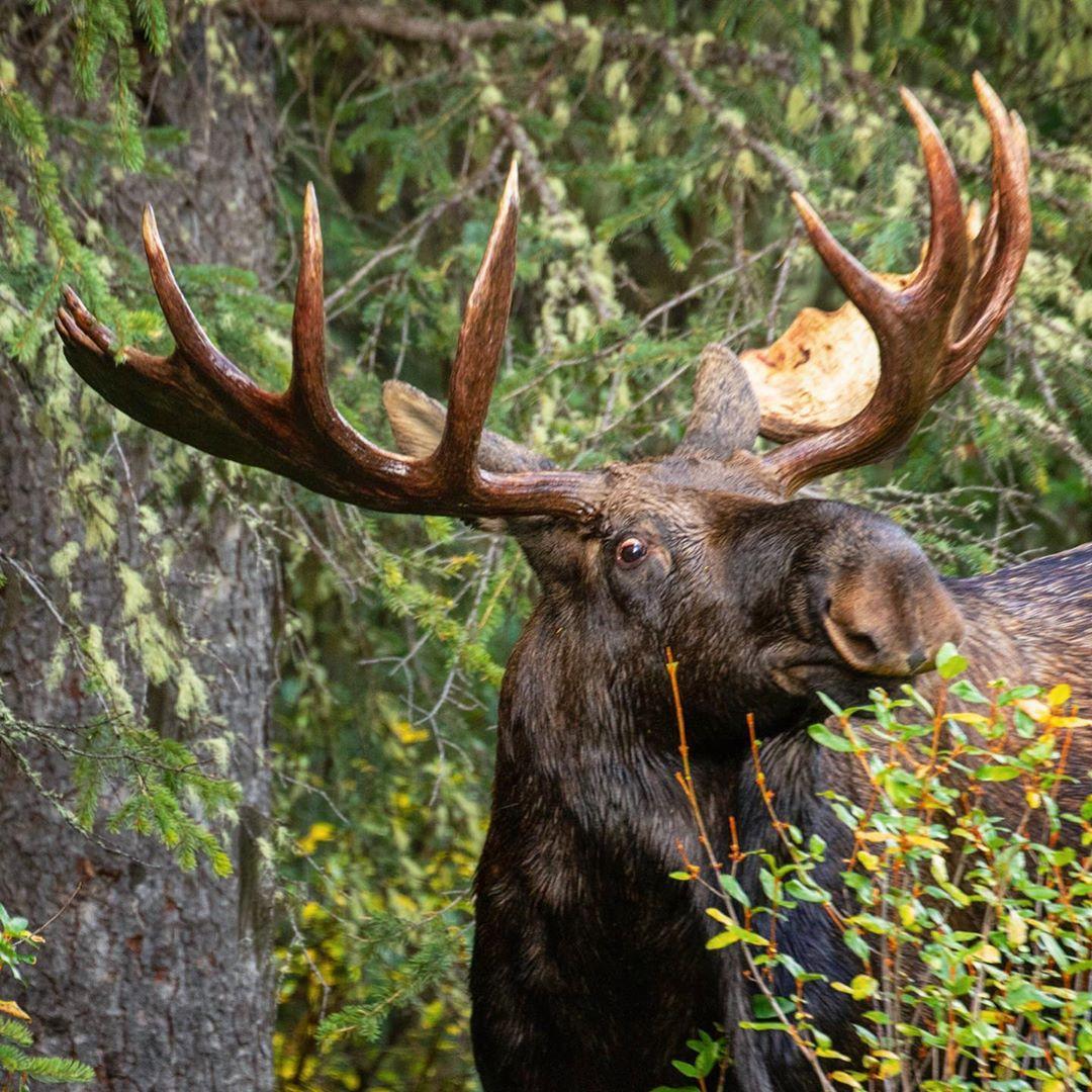 Снимки диких животных Канады от Симоны Генрих