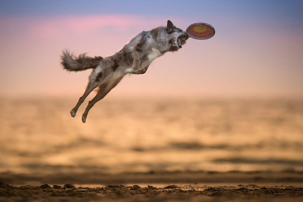 Собаки в действии на снимках Клаудио Пикколи
