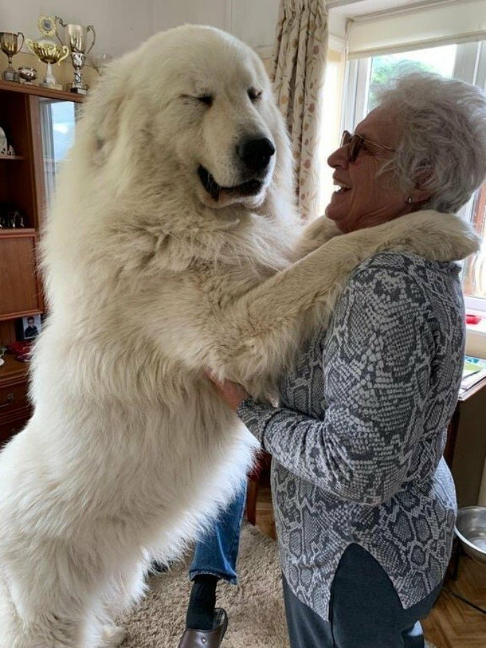 Огромные собаки, которые не подозревают о своих размерах