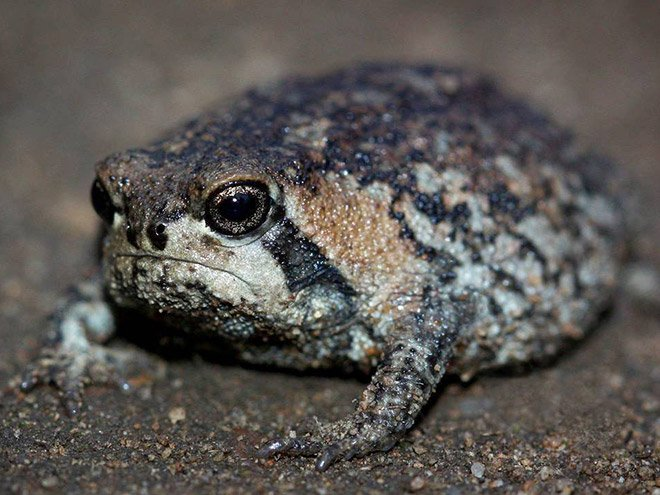 Африканский узкорот ─ самая сердитая лягушка в мире