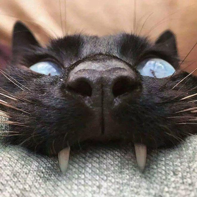 Милые коты и кошечки с вампирским оскалом