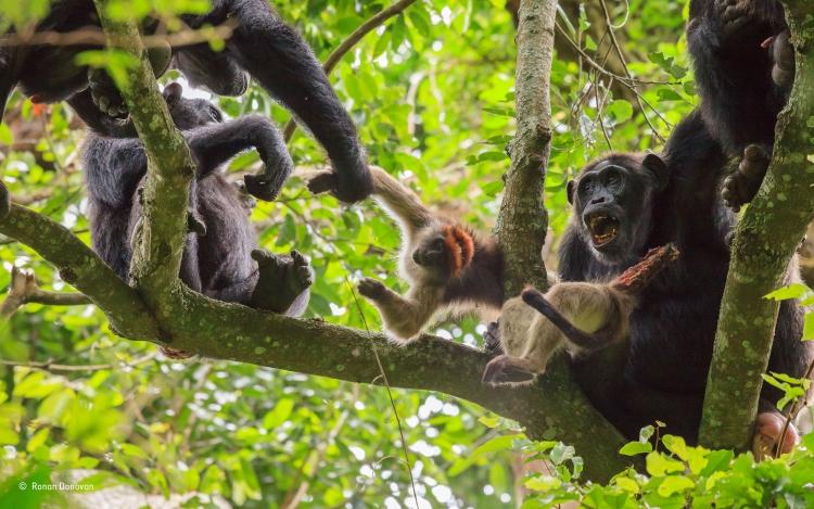 Как шимпанзе объявили войну людям в Уганде