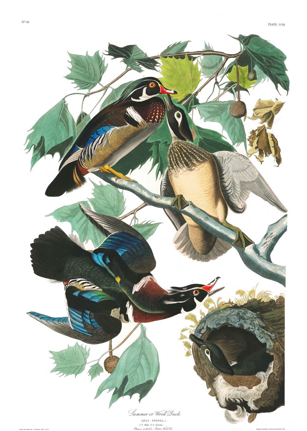 Иллюстрации из книги Птицы Америки