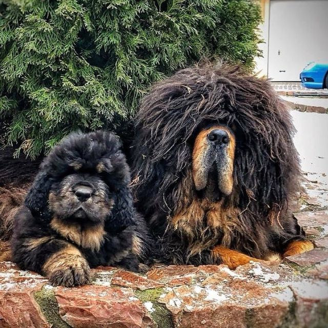Тибетские мастифы - лохматые и очаровательные великаны
