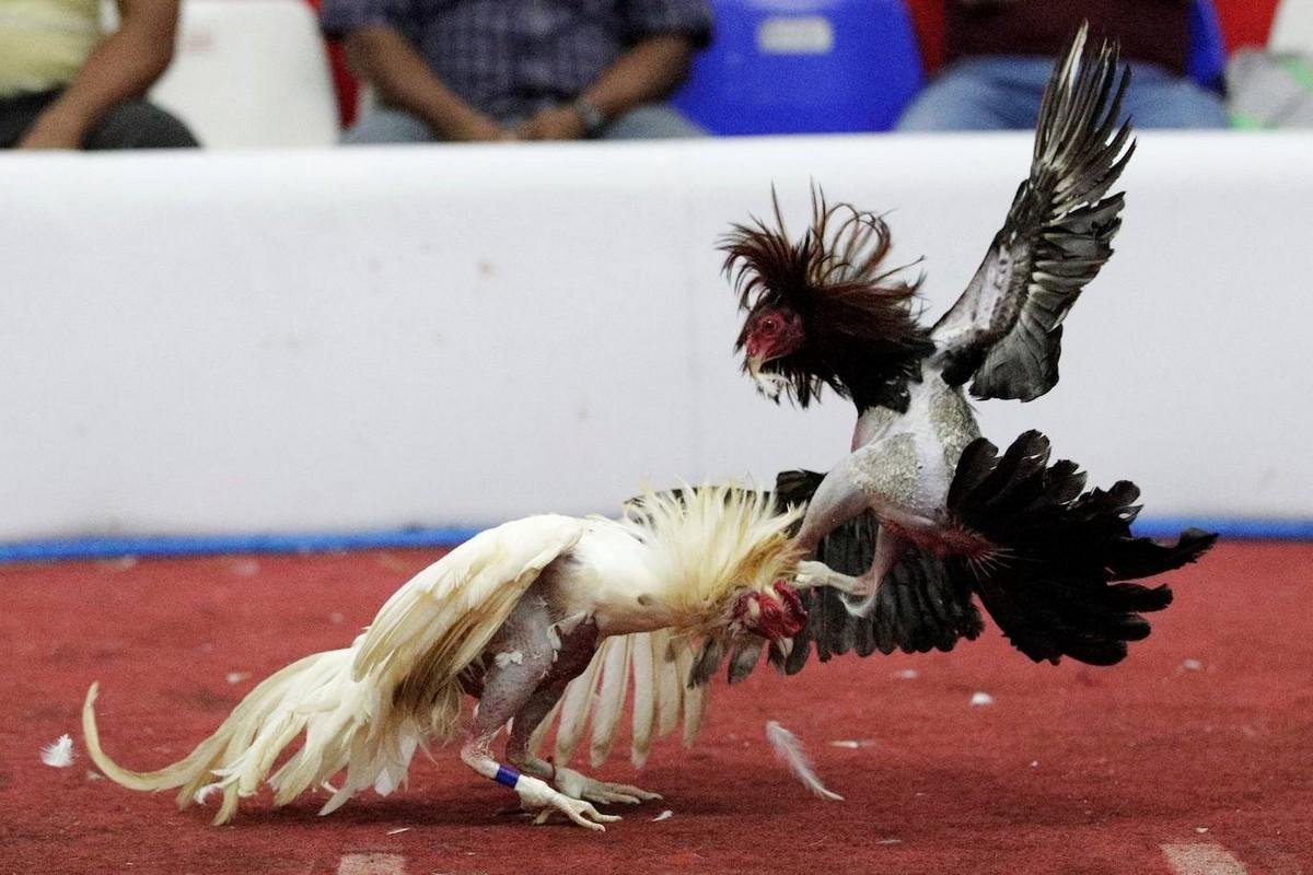 Петушиные бои как традиция и спорт в Панаме
